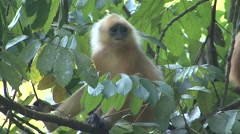 Red Leaf Monkey family feed in tree 4 Stock Footage