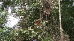Red Leaf Monkey feed in tree 13 Stock Footage