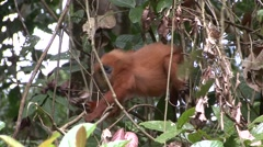 Red Leaf Monkey feed in tree 11 Stock Footage