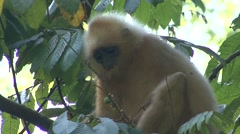 Red Leaf Monkey feed in tree 2 Stock Footage