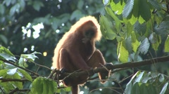 Red Leaf Monkey feed in tree 5 Stock Footage
