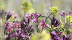 Bee flies on wild flower Stock Footage