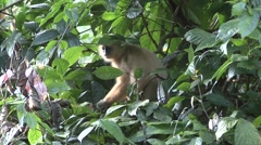 Red Leaf Monkey feed in tree 9 Stock Footage