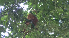 Red Leaf Monkey female with baby sit in tree 2 Stock Footage