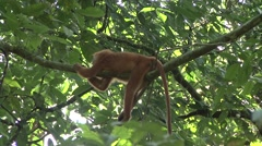 Red Leaf Monkey relax on liana 1 Stock Footage