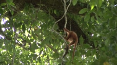 Red Leaf Monkey youngster climb liana 1 Stock Footage