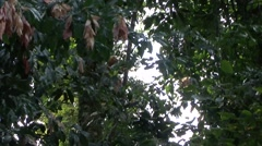 Red Leaf Monkey youngster climb liana 2 Stock Footage