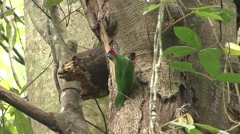 Red-crowned Barbet pecking Stock Footage