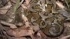 Reticulated Python smelling with tongue on the ground in the night Stock Footage