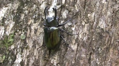 Rhinoceros Beetle male walk on tree trunk 2 Stock Footage