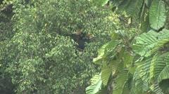 Rhinoceros Hornbill male feed in tree 1 Stock Footage