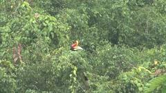 Rhinoceros Hornbill male feed in tree 4 Stock Footage