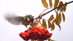 Tomtit. Bird on a branch of rowan. Slow motion 240 fps. Stock Footage