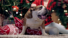 The girl dresses a mistletoe on a bulldog Stock Footage