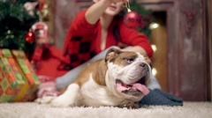 Plays the girl a New Year's ball with a bulldog Stock Footage