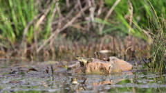Common frog in the swamp Stock Footage