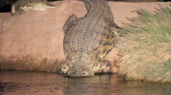 Nile crocodile enter the water Stock Footage