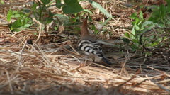 Hoopoe bird on the ground Stock Footage