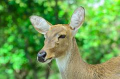 Eld's deer also known as the thamin or brow-antlered deer. - stock photo