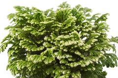 houseplant Selaginella isolated on white background - stock photo