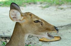 Eld's deer also known as the thamin or brow-antlered deer. Stock Photos