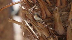 Pied wheatear bird Stock Footage
