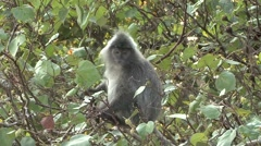 Silvered Langur feeding on leafs 5 Stock Footage