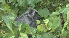 Silvered Langur feeding on leafs 7 Stock Footage