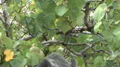 Silvered Langur feeding on leafs 8 Stock Footage