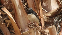 Pied wheatear bird on branch Stock Footage