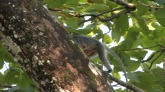 Silvered Langur female climb tree with baby on stomach 2 Stock Footage