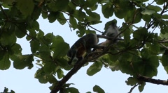 Silvered Langur female climb tree with baby on stomach 3 Stock Footage