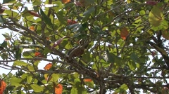 Silvered Langur female climb tree with baby on stomach 5 Stock Footage