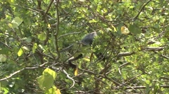 Silvered Langur female climb tree with baby on stomach 6 Stock Footage