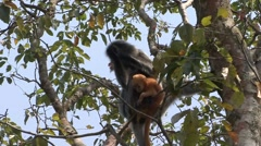 Silvered Langur female with baby feeding on leafs 2 Stock Footage