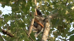 Silvered Langur female with baby in tree 4 Stock Footage