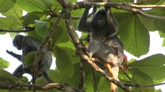 Silvered Langur female with baby on stomach in tree 1 Stock Footage
