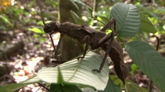 Stick Insect on branch Stock Footage