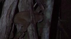 Sunda Slow Loris climbing down tree Stock Footage