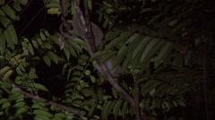 Sunda Slow Loris move in tree Stock Footage