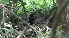 Treeshrew feeding on nut Stock Footage