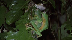 Wallace's Flying Frog mating on leaf in the night 2 Stock Footage