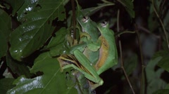 Wallace's Flying Frog mating on leaf in the night 1 Stock Footage