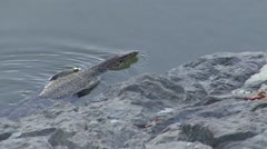 Water Monitor Lizard swimming in river 1 Stock Footage