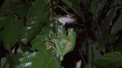 Wallace's Flying Frog mating on leaf in the night 6 Stock Footage