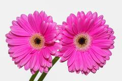 Pink flower Coral Gerbera Daisies Stock Photos