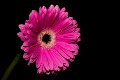 Pink flower Coral Gerbera Daisy - stock photo