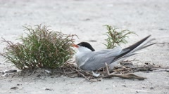 Common Gull Sitting On The Nest Stock Footage