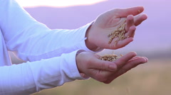Female hands holding wheat, rice, grain in sunset light, Close up shot of cro Stock Footage
