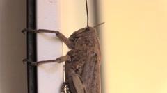 Browne Locust on window border - stock footage
